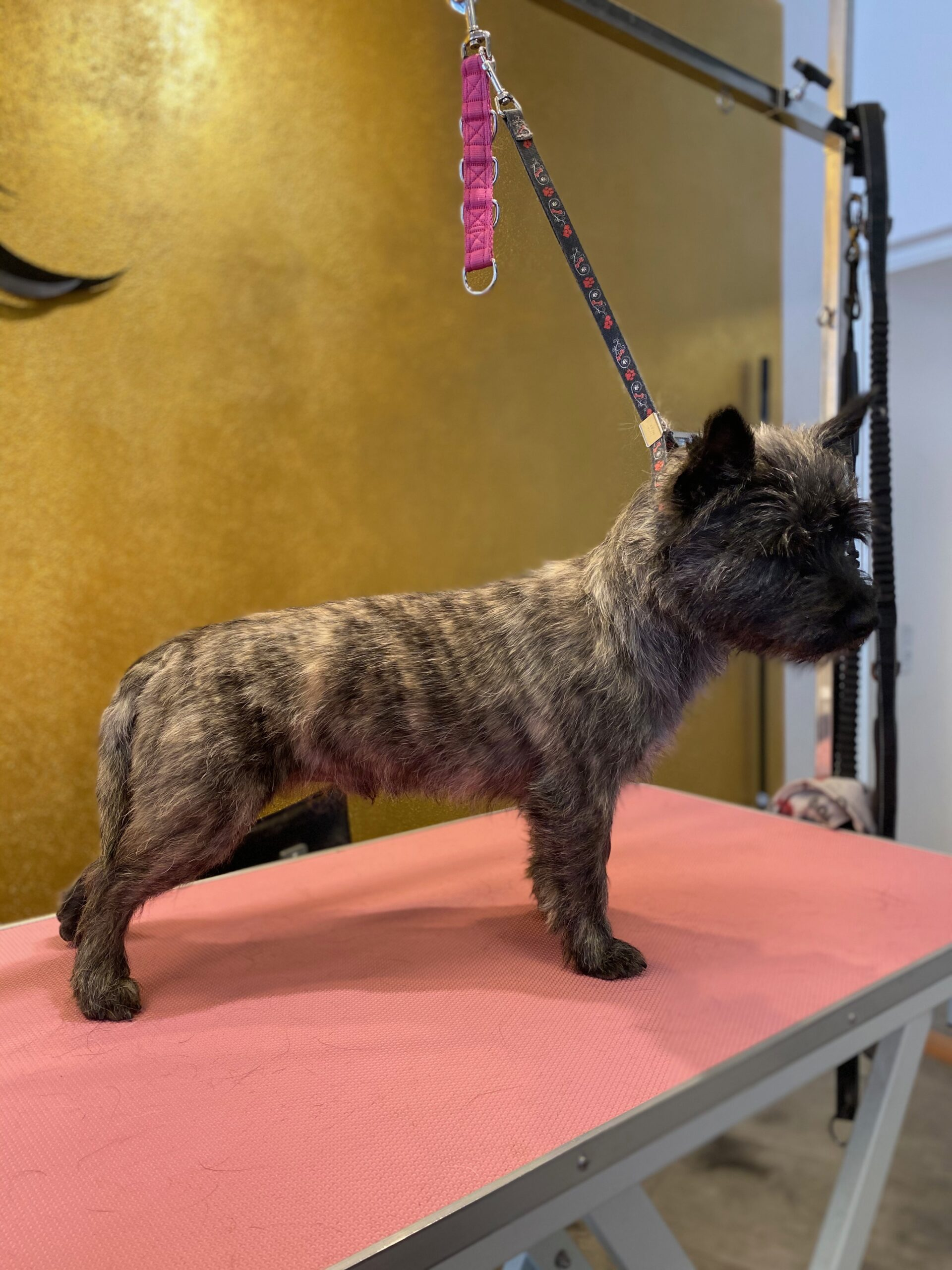 Cairn Terrier trim